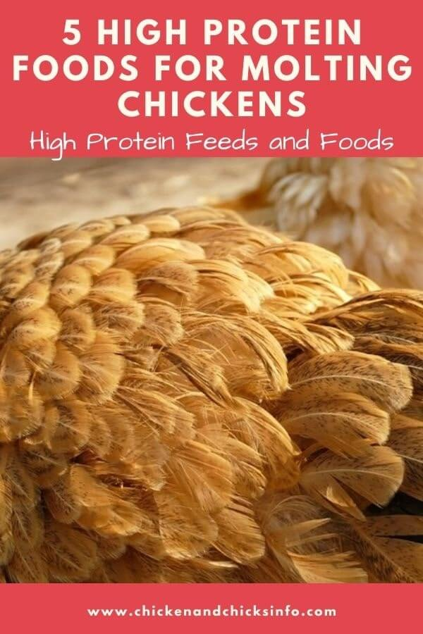 High Protein Foods for Molting Chickens