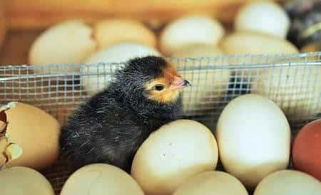 How Does a Chick Get out of the Egg