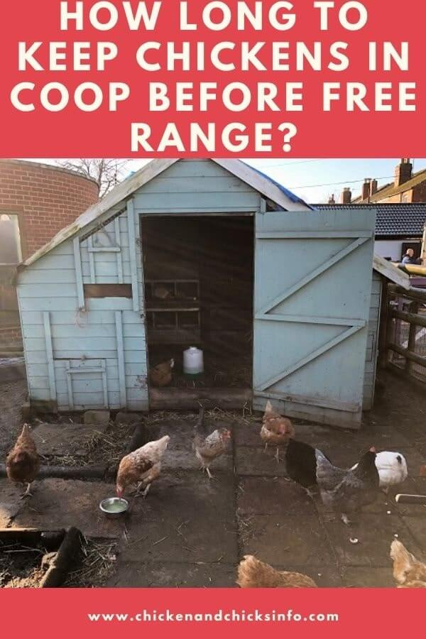 How Long to Keep Chickens in Coop Before Free Range