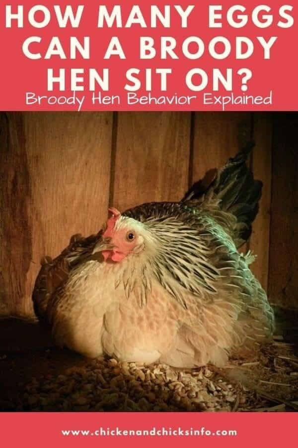 How Many Eggs Can a Broody Hen Sit On