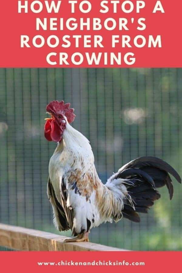 How To Stop A Neighbor S Rooster From Crowing Chicken Chicks Info