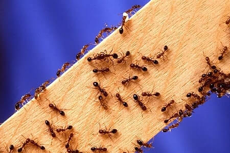 How to Use Diatomaceous Earth to Kill Fire Ants
