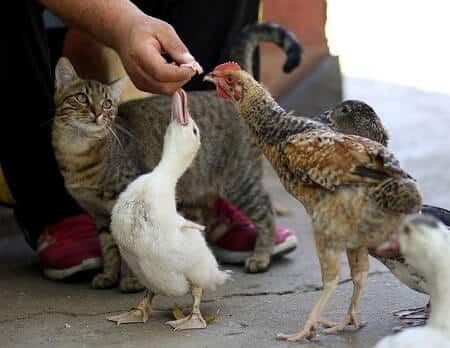How to feed cat food to chickens