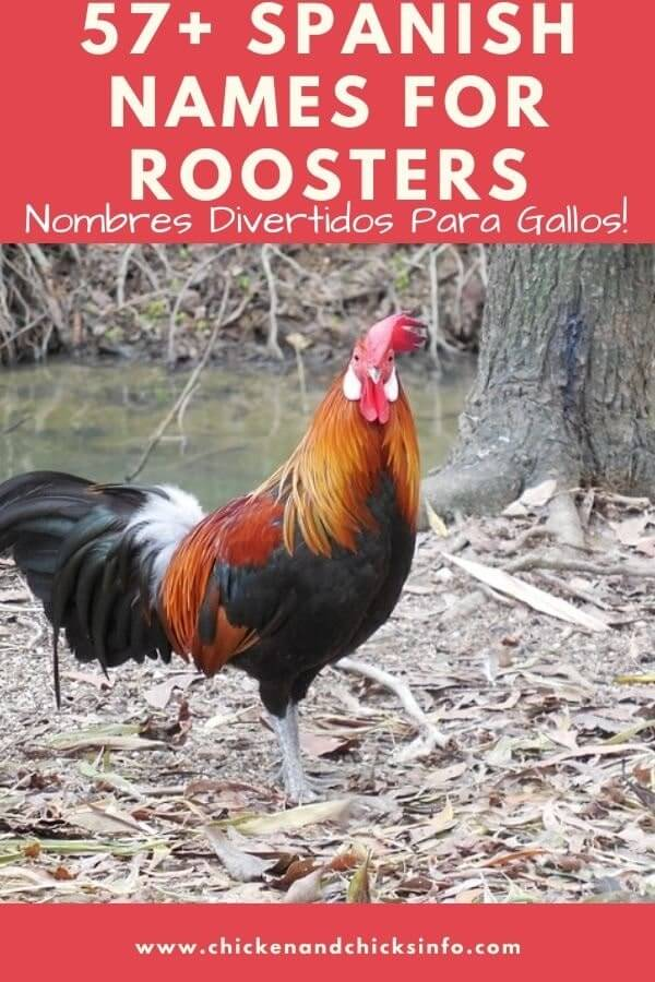 Rooster Names in Spanish