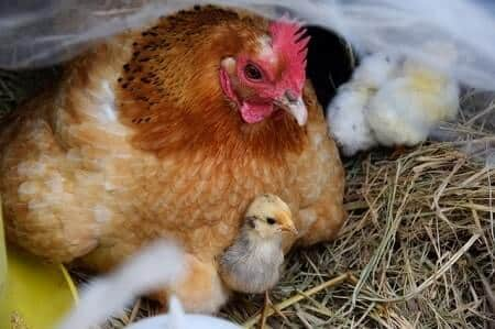 What Do Chickens Feed Their Chicks