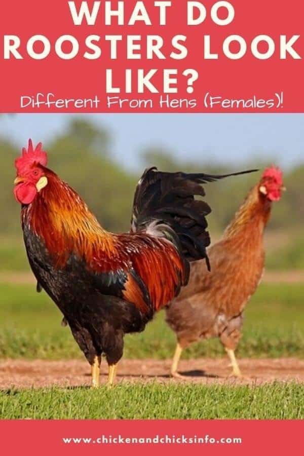 What Do Roosters Look Like