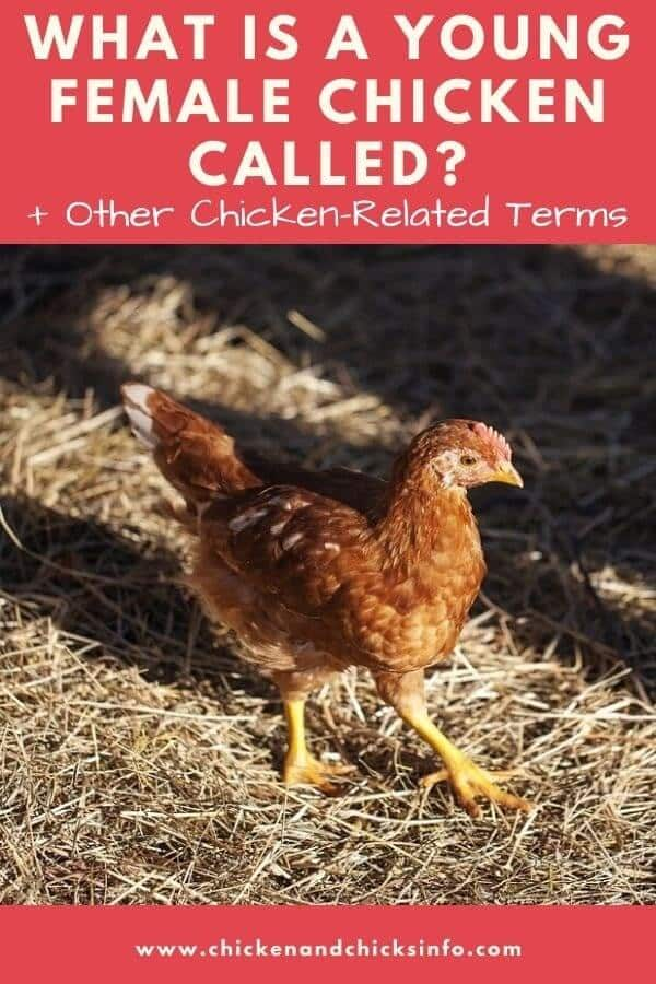 What Is a Young Female Chicken Called