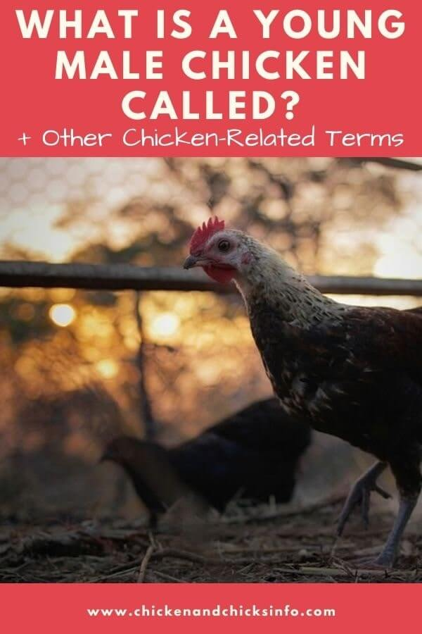 What Is a Young Male Chicken Called