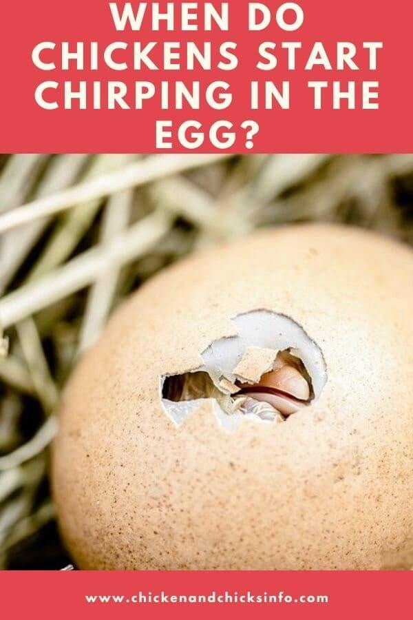 When Do Chickens Start Chirping in the Egg
