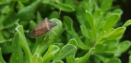 Are stink bugs harmful to chickens