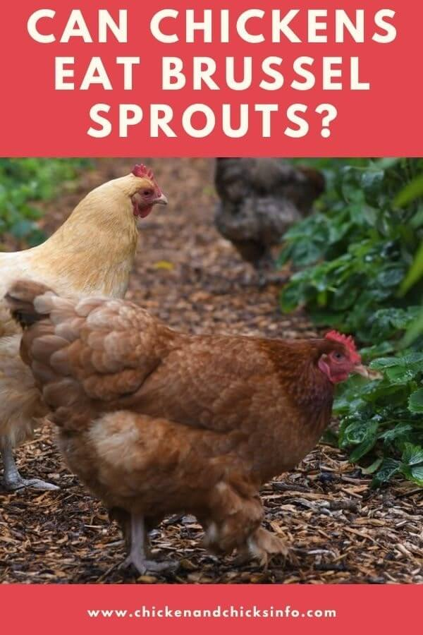 Can Chickens Eat Brussel Sprouts