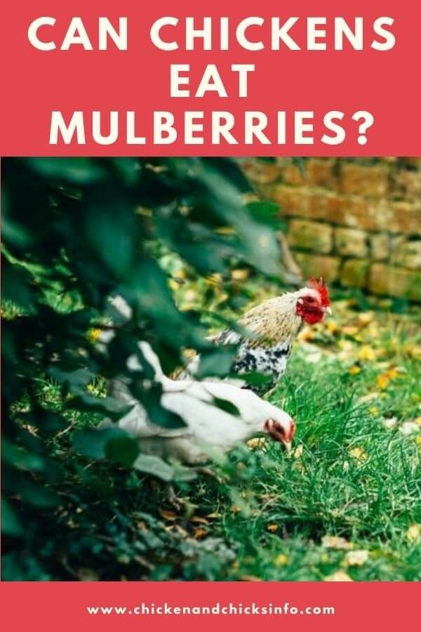 Can Chickens Eat Mulberries