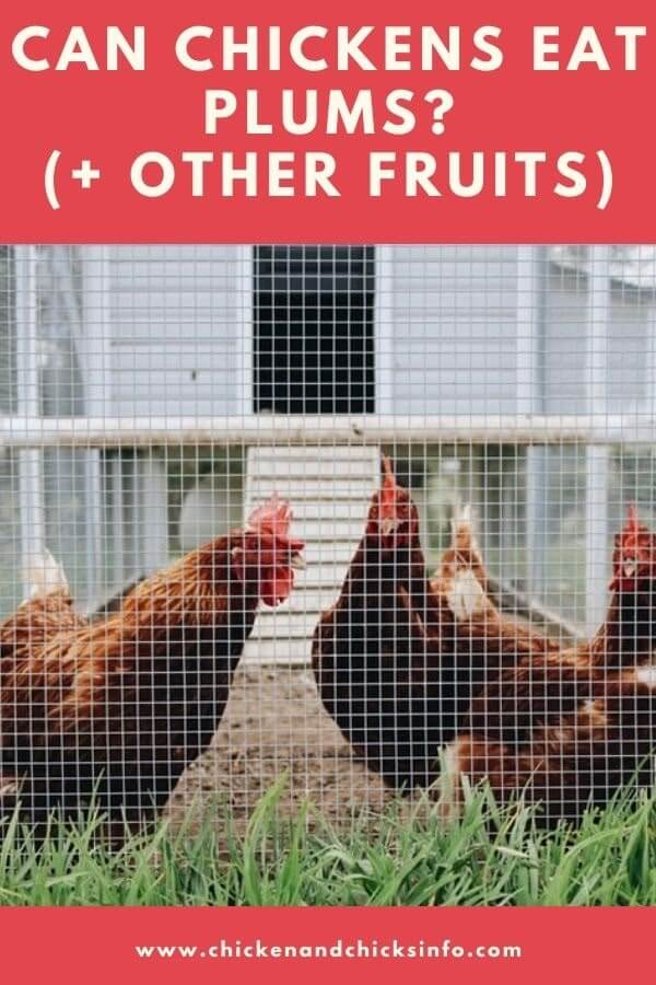 Can Chickens Eat Plums