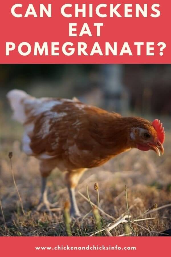 Can Chickens Eat Pomegranate