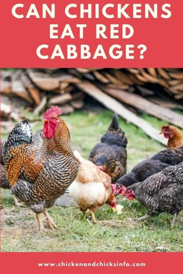Can Chickens Eat Red Cabbage