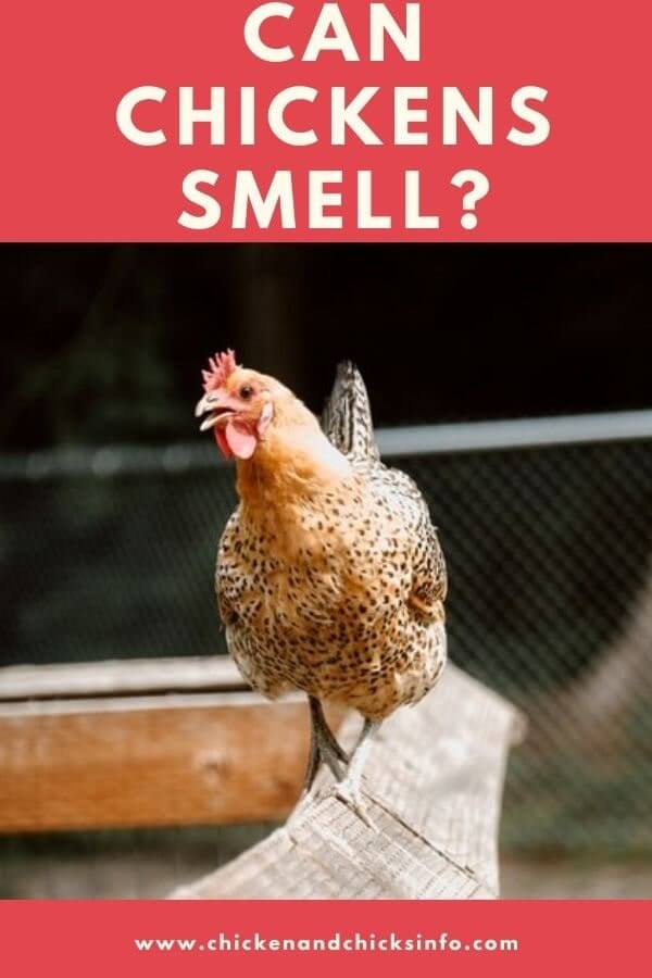 Can Chickens Smell