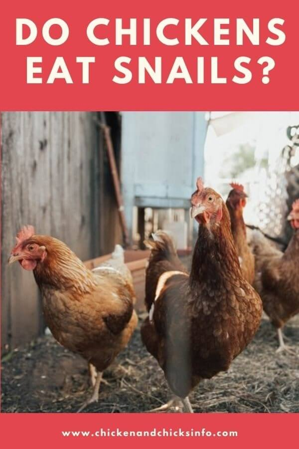 Do Chickens Eat Snails