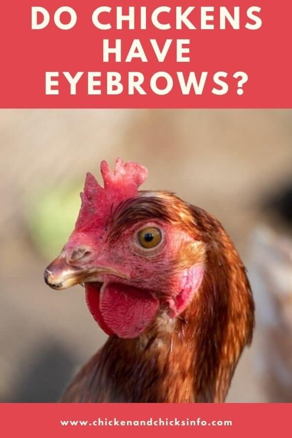 Do Chickens Have Eyebrows