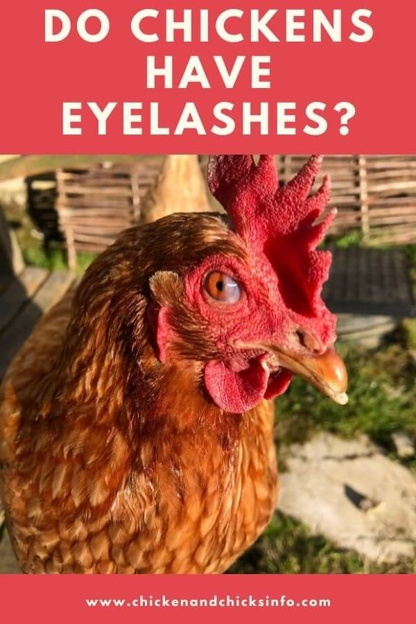 Do Chickens Have Eyelashes