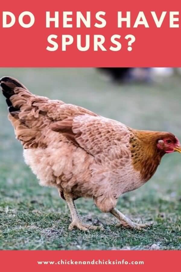 Do Hens Have Spurs