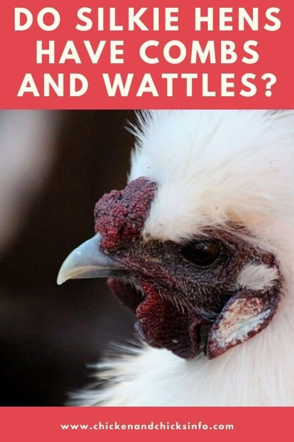 Do Silkie Hens Have Combs and Wattles