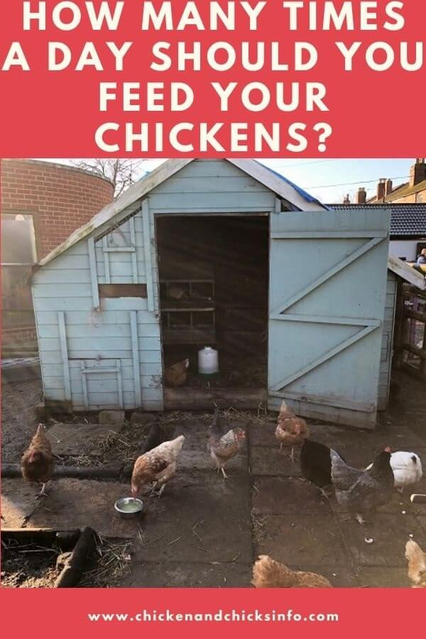 How Many Times a Day Should I Feed My Chickens