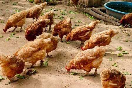 How Much to Feed Chickens per Day