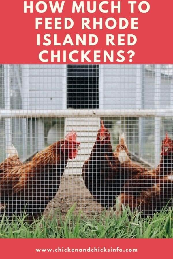 How Much to Feed Rhode Island Red Chickens