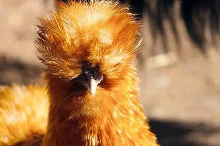 Orange Silkie Rooster Characteristics