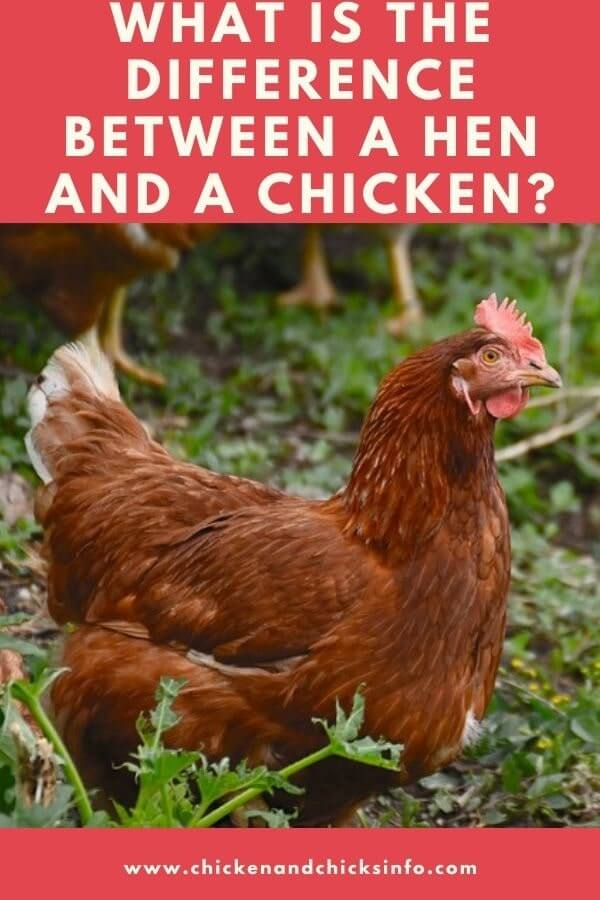 What Is the Difference Between a Hen and a Chicken