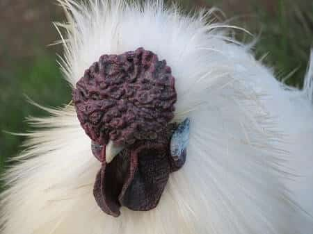 What Kind of Comb Does a Silkie Chicken Have