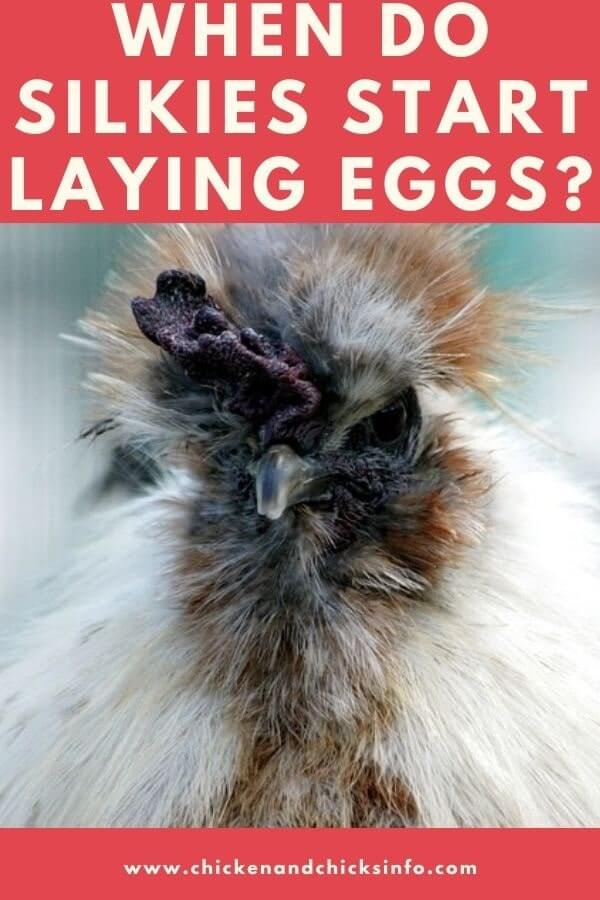 When Do Silkies Start Laying Eggs