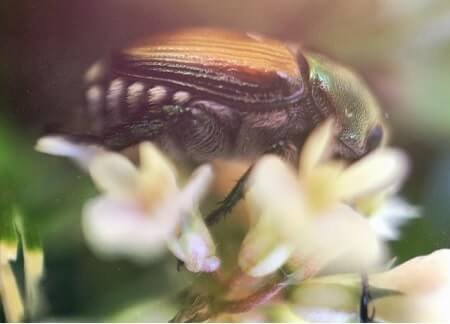 Are Japanese Beetles Dangerous in Any Way