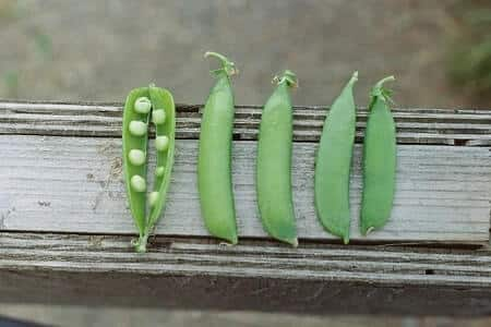 Are Peas Healthy for Chickens