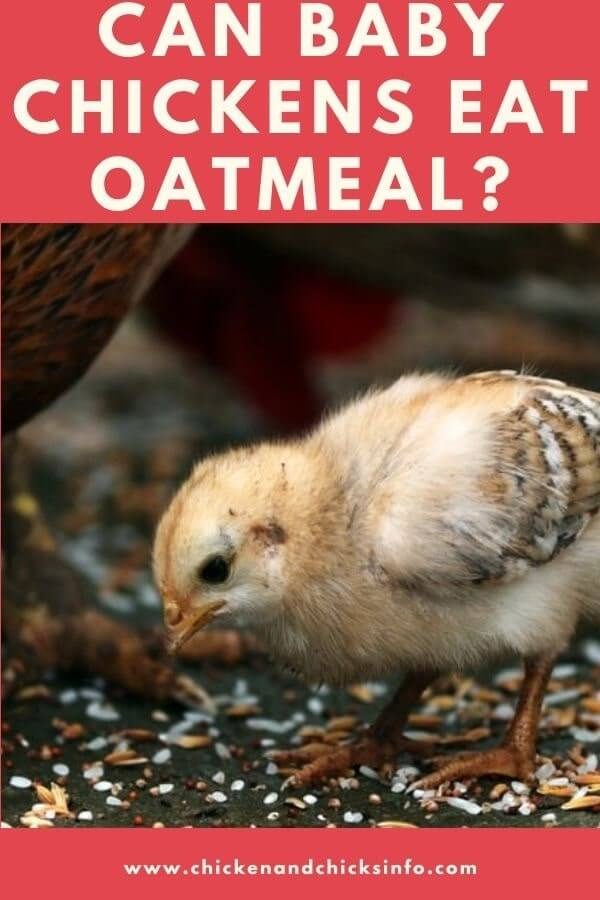 Can Baby Chickens Eat Oatmeal