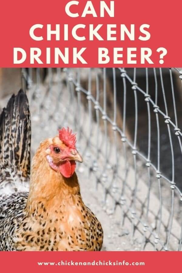Can Chickens Drink Beer