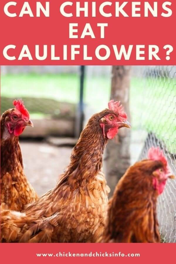 Can Chickens Eat Cauliflower