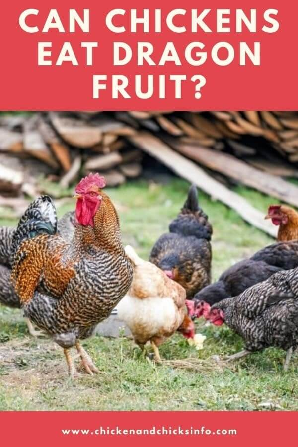 Can Chickens Eat Dragon Fruit