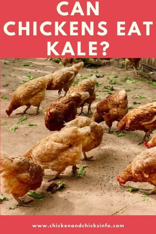 Can Chickens Eat Kale