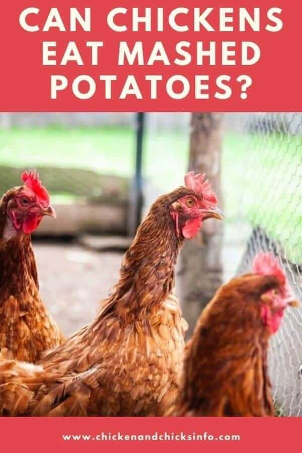 Can Chickens Eat Mashed Potatoes