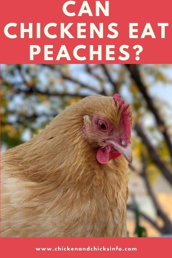 Can Chickens Eat Peaches