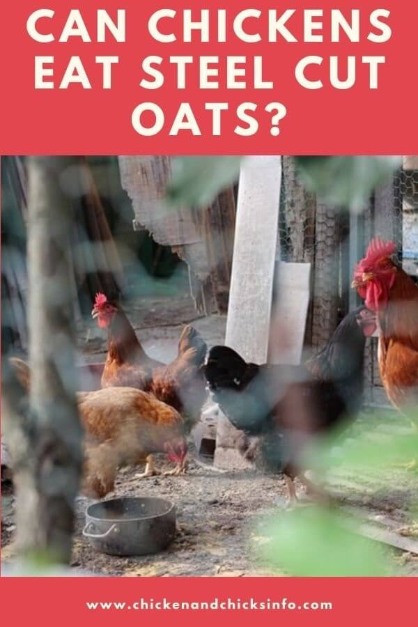 Can Chickens Eat Steel Cut Oats