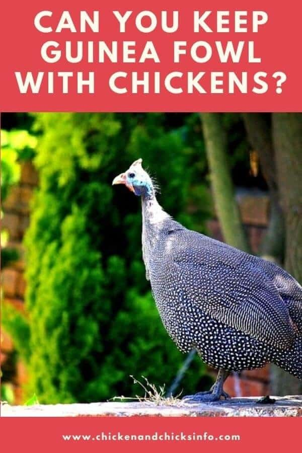 Can You Keep Guinea Fowl With Chickens