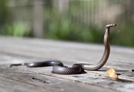 Do Guinea Fowl Kill or Eat Snakes