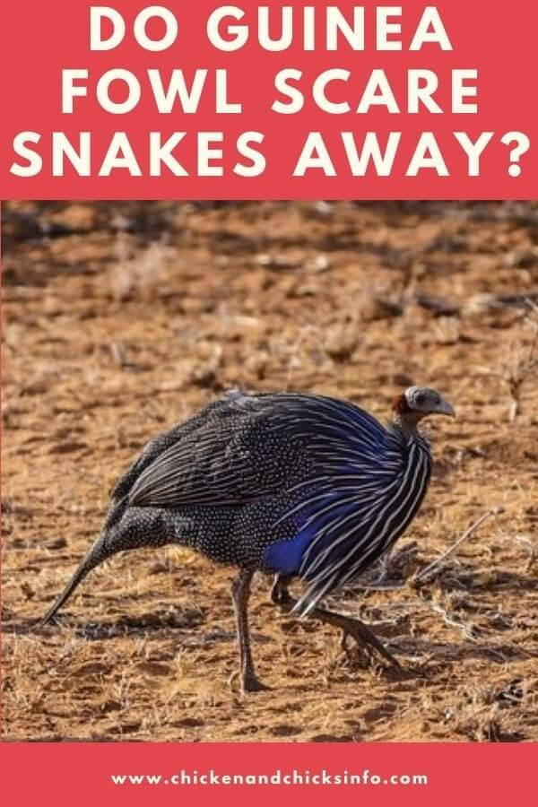 Guinea Fowl and Snakes