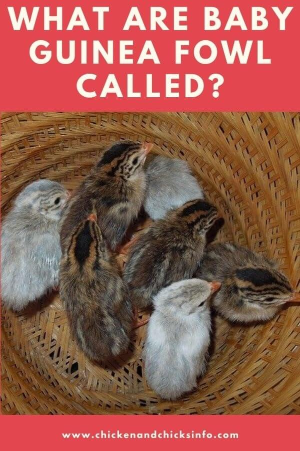 What Are Baby Guinea Fowl Called