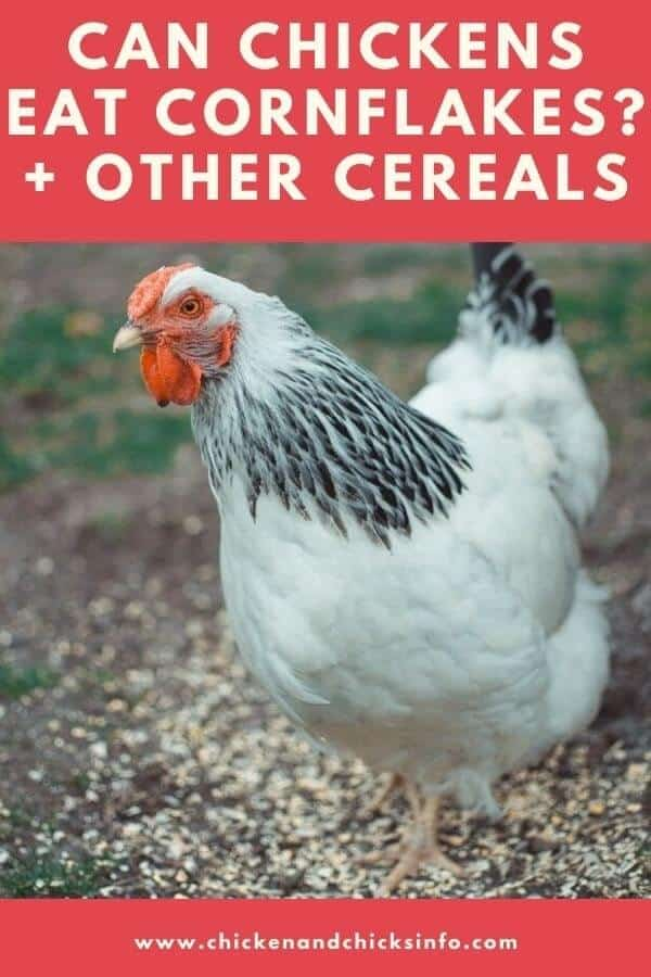 Can Chickens Eat Cornflakes