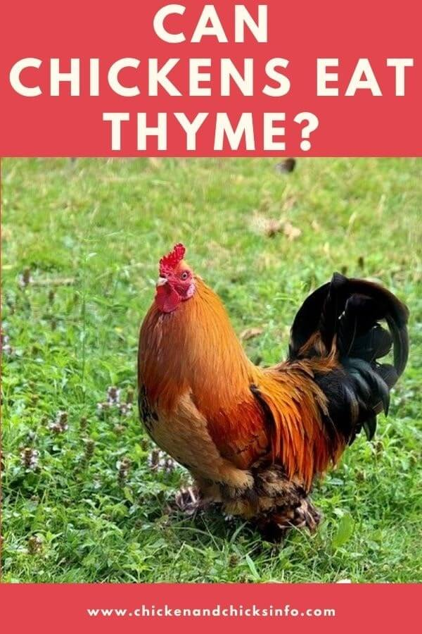 Can Chickens Eat Thyme