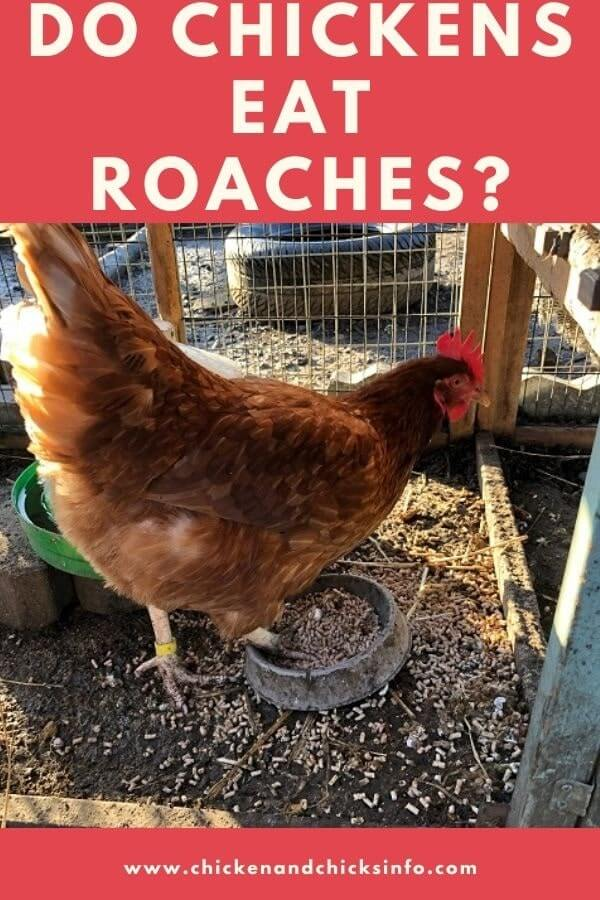 Do Chickens Eat Roaches