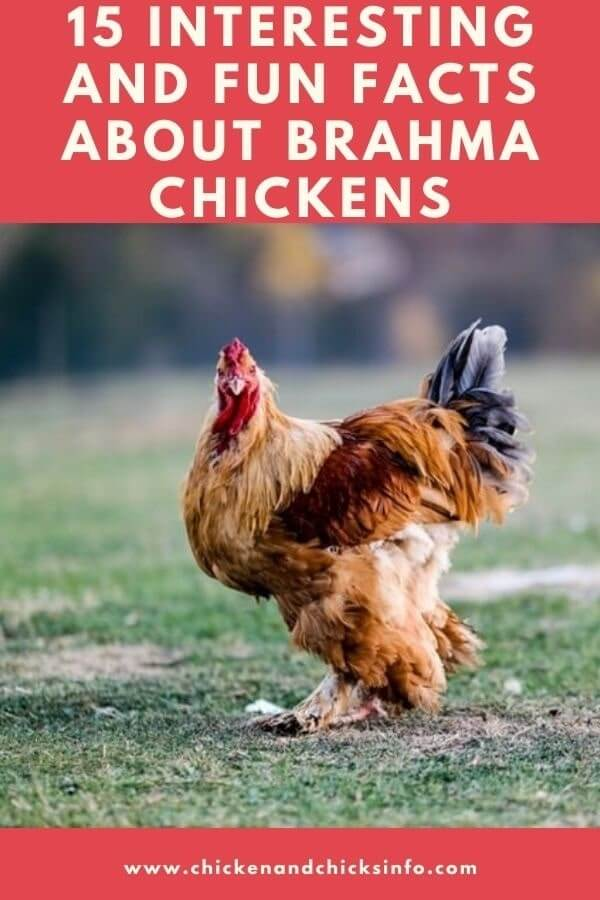 Facts About Brahma Chickens